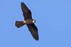 Eleonora's Falcon_0843 (Daly Wildlife) Tags: eleonorasfalcon sardinia italy falcoeleonorae falcon birdofprey migrantbird coastal cliffs headland rockycoastline