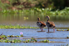 Egyptian Geese (leendert3) Tags: select leonmolenaar nature wildlife southafrica krugernationalpark geese ngc npc coth5