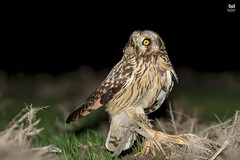Coruja do Nabal, Short-eared Owl (Asio flammeus) (Nuno Xavier Moreira) Tags: corujadonabal shortearedowlasioflammeus nunoxavierlopesmoreira ngc animals animais aves de portugal observação nature natureza selvagem pics wildlife wildnature wild photographer birds birding birdwatching em bird ao ar livre ornitologia nuno xavier moreira nunoxaviermoreira liberdade national geographic xfx35 xfx75 xfp35 xfp75 xrc20 xlm9 wwwvidaselvagemnoturnapt prey nocturnas noturnas all xpress us asioflammeus shortearedowl