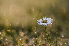 A beauty after a frosty night - eine Schönheit nach einer frostigen Nacht (ralfkai41) Tags: makro bokeh plant flower macro winter blossom nature blüte froft blume outdoor gänseblümchen daisy natur pflanze