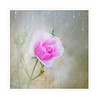 Stars (BirgittaSjostedt) Tags: rose soft single alone texture pastel pink paint unique art beauty