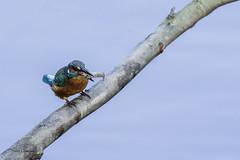 Une écrevisse? (vyclem78) Tags: martinpêcheur oiseaux oiseau automne iledefrance france yvetteclemenson nikond750 nikon200500