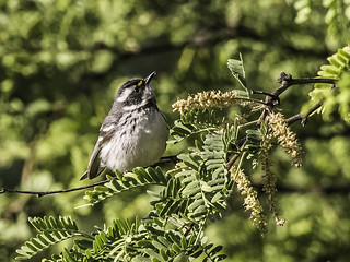 Black-and-white Warbler 170515 Fort Huachuca -11