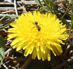 Plants_OB_321 (NRCS Montana) Tags: taraxacum officinale common dandelion plants