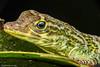 Anolis Anoriensis (Naturescrack) Tags: macro macrophotography macrofotografía lizard reptil lagarto lagartija nature naturaleza antioquia colombia nikon nikkor raynox coolpix green eye ojo verde wildlife animal animals