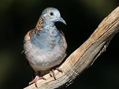 Bar-shouldered Dove (Geopelia humeralis) (Ian Colley Photography) Tags: barshouldereddove geopeliahumeralis bingara bird canoneos7dmarkii 500mm