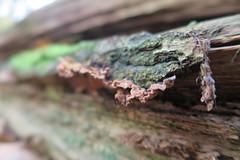 20171109 Mushroom (www.doortje.nl) Tags: bokeh mushroom hilversum doortjenl tree paddestoel paddenstoel fungi pilze champignon herfst autumn forest canonpowershotg7x canon zuiderheide wwwdoortjenl