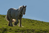 Backlit Horse (Tim Melling) Tags: shire horse clydesdale heavy west yorkshire backlit timmelling