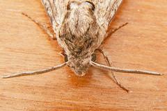 1972-P1120002 Convolvulus Hawk-moth (Agrius convolvuli) (ajmatthehiddenhouse) Tags: stmargaretsatcliffe kent uk 2016 garden moth sphingidae agrius convolvuli agriusconvolvuli convolvulushawkmoth