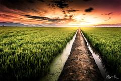 Rice Fields | Delta del Ebro (jesbert) Tags: sony a7r2 1740mm delta del ebro tarragona cataluña spain paisaje landscape campo arroz rice fields atardecer sunset