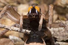 Wolf Spider (Lycosidae) (caitlinhenderson) Tags: spider spiders moult moulting wolf jumping huntsman huntsmen macro canon7d canon invertebrate invertebrates arachnid arachnids australia melbourne