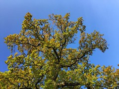 Blue Sky & Oak (Marc Sayce) Tags: blue sky skies oak tree colours fall leaves autumn november 2017 alice holt forest hampshire farnham surrey south downs national park