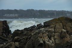 Two (Bud in Wells, Maine) Tags: kennebunk maine oaksneck gulls seagulls birds newengland coast