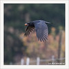 KUSA-6978 (Weinstöckle) Tags: rabenkrähe vogel rabenvogel walnuss flug regen