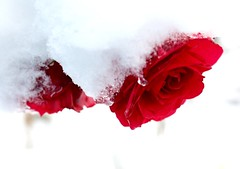 The thaw begins (howellc7t3) Tags: snow roses birmingham flowers winter
