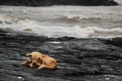 Bandra Fort (Debatra) Tags: mumbai bombay maharashtra india dog canine bandstand sea water arabiansea arabian nikon nikkor 55200mm 55200 d3300