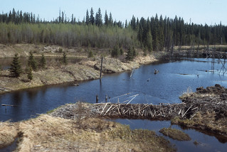 A beaver dam north of Fort St. John, BC on May 24, 1992 -- Nancy Collins Photo
