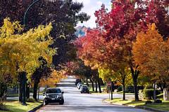 Autumn Ridge 🍁🍃🌳 Vancouver, BC (Michael Thornquist) Tags: arbutusridge autumn fall red leaves vancouver myportcity 604now photos604 explorebc explorecanada canoncanada ilovebc britishcolumbia pacificnorthwest pnw canada 500px