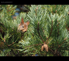 EXPLORED: Stocking Up (SGarriott) Tags: ksgarriott scottgarriott olympus omd em5ii 40150mmf28 telephoto nature animal squirrel tree pine pinecone furry cute norway norge ekorn