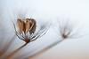 A gentle whisper ♥ In Explore, Thank you. (~ Paula B) Tags: hogweed seed autumn newfoundland