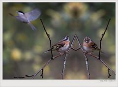 KUSA-7578 (Weinstöckle) Tags: bergfink sumpfmeise flug vogel spiegelung