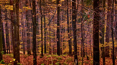 Autumn forest (flowerikka) Tags: autumn autumncolors baum bäume brown eifel flora forest golden grass herbst landscape leaves nature season silence trees walk wood holz wald