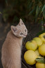 Ozzie and quinces (pitrih) Tags: cutecat tabbycat yellow cat quince helios44m autumn food kitten