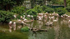 In Kowloon Park (mcgin's dad) Tags: hongkong kowloonpark birds flamingos canon450d