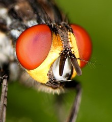 Eyes (Paulo Mattes) Tags: mosca mosquito fly insects insect insetos inseto instagram eyes eye drops drop closeup close canon55250 canon canont5i canonbrasil macros macro naturelovers nature natgeo natureza ngc