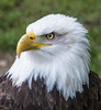 Hunter Eye, vol. 3 (Ganymede: Photography) Tags: bald eagle us usa united states america american symbol majestic majesty zoo aquarium madrid spain nikon d60 hunter eyes life animal bird haliaeetus leucocephalus prey north close up closeup green white feathers feather eye brilliant yellow beak
