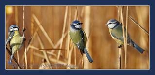 trio de mesanges bleues