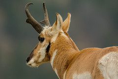 Cold shoulder {Explored} (ChicagoBob46) Tags: pronghornantelope antelope buck yellowstone yellowstonenationalpark nature wildlife coth5 explore explored ngc npc
