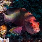 Yellowfin Hind - Cephalopholis hemistiktos thumbnail