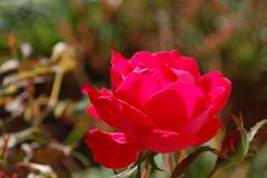 Autumn Rose. (dccradio) Tags: lumberton nc northcarolina robesoncounty outdoors outside morning goodmorning fall autumn harvest nikon d40 dslr redrose rose roses rosebush flower floral flowergarden flowerbed plant nature natural