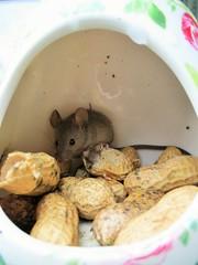 """Little Nibbler"" (seanwalsh4) Tags: littlenibbler mouse small jumper jump monkeynuts 7dwf sundaysfauna makemesmile"