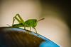 like_a_leaf (AnteKante) Tags: grass miniatur mini insekt silentworld tier insect natur animal makro grün macro käfer grasshopper weis gras stillewelt bug green grashüpfer white