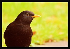 """Beady-eyed Blackbird..."" (NikonShutterBug1) Tags: nikond7100 tamron70300mm birds ornithology wildlife nature spe smartphotoeditor birdfeedingstation bokeh blackbird"