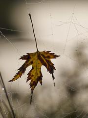 Prise au piège * (Titole) Tags: leaf web cobweb deadleaf titole nicolefaton