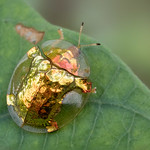 Golden tortoise beetle thumbnail