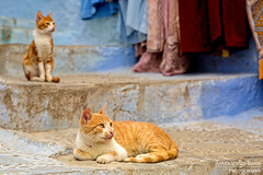Chefchaouen (AnnekathrinLingePhotography) Tags: chefchaouen chaouen morocco maroc marokko blue cat cats straycat straycats stair stairs tabby animal streetcat streetcats canon 5dmark3 5dmk3 5dmkiii katze chat red rot redcat tamron 2875mm