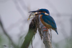 Little beauty-big catch (Rakesh Kumar Dogra) Tags: common kingfisher commonkingfisher birdsofindia birdphotography indianbirds fishing kingfishers tamron150600g2 alcedoatthis