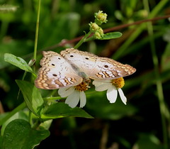 White Peacock Butterfly (explored 11/21/17) (vischerferry) Tags: whitepeacock butterfly insect anartiajatrophae florida brushfoot wildflower