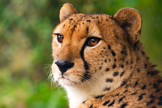 Asnaro, Male Cheetah of Yokohama Zoological Gardens