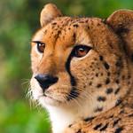Asnaro, Male Cheetah of Yokohama Zoological Gardens thumbnail