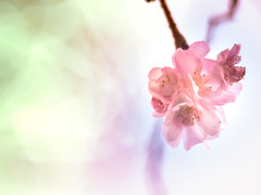 Cherry blossoms in winter (Tomo M) Tags: cherryblossoms tiny bokeh winter pentacon pink petal light branch tree
