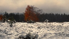 A Change Of Seasons (Daphne-8) Tags: snow schnee tree baum arbre arbole autumn herbst herfst boom colour kleuren farben colores red rot rood rojo rosso otoño autunno outono automne
