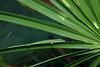 Green Anole (Anolis carolinensis) (Zachary Cava) Tags: sawpalmetto green greenanole anoliscarolinensis anole lizard reptile herpetology camouflage anolis loungelizard morningdew palmetto florida wildlife carolinaanole americangreenanole americananole redthroated americanchameleon iguanidae insitu