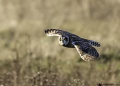what ! (blackfox wildlife and nature imaging) Tags: canon 80d sigma150600mmossport shortearedowls birdsofprey raptor bif birdsofpreyinflight owls