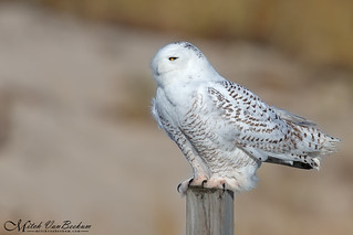 Let It Snow, Let It Snow, Let It Snow! (Snowy Owl)