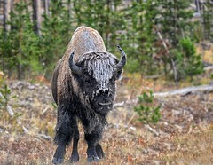 Frosty Bison (Philip Kuntz) Tags: bison buffalo bullbison frost frostybison yellowstone wyoming animal americanofficialmammal